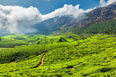 Carta da parati Piantagioni di tè in India
