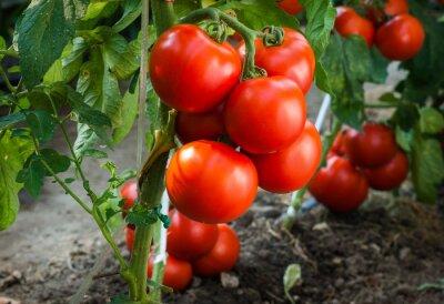 Carta da parati Pomodori maturi in giardino pronto per il raccolto