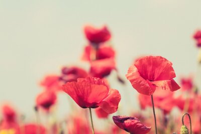 Carta da parati Poppy flowers retro peaceful summer background