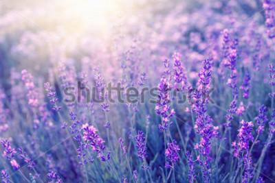 Carta da parati Primo piano dei cespugli della lavanda sul tramonto. Il tramonto risplende sui fiori viola di lavanda. Cespugli al centro dell'immagine e luce del sole a sinistra. Provenza, regione della Francia.