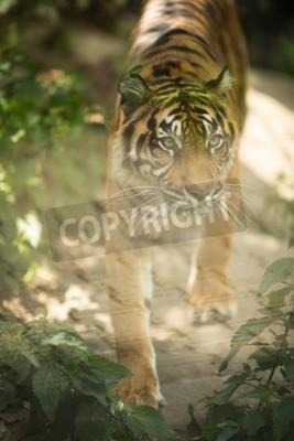 Carta da parati Primo piano di una tigre siberiana noto anche come tigre dell'Amur (Panthera tigris altaica), il più grande gatto vivente