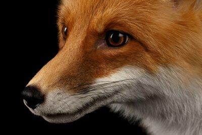 Carta da parati Primo piano ritratto di Red Fox nel profilo isolato su nero