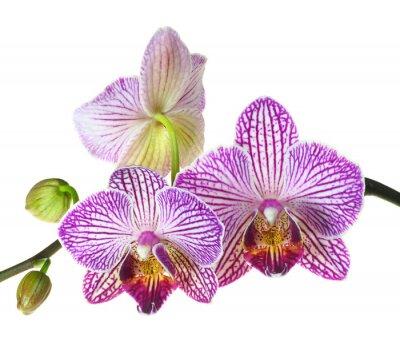 Carta da parati Profondità di campo Estrema Foto di un Three Orchid Blooms