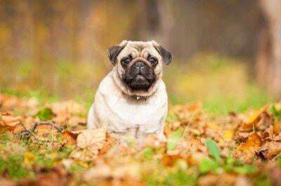 Carta da parati Pug cane beige seduto su foglie in autunno