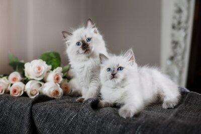 Carta da parati Ragdoll punto blu piccolo gattino