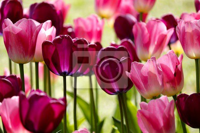 Carta da parati red and pink tulip flowers