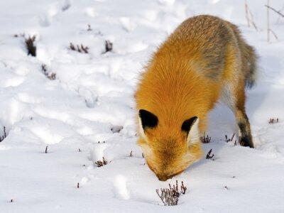 Carta da parati Red Fox Face in neve