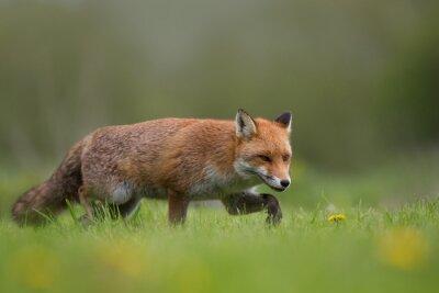 Carta da parati Red Fox in piedi in un campo di erba e fiori