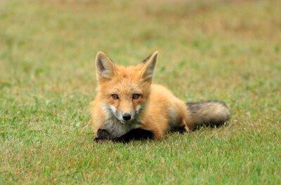 Carta da parati Red Fox Kit Posing in a Grass Meadow, PEI, Canada