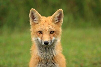 Carta da parati Red Fox Kit Testa Ritratto, PEI, Canada