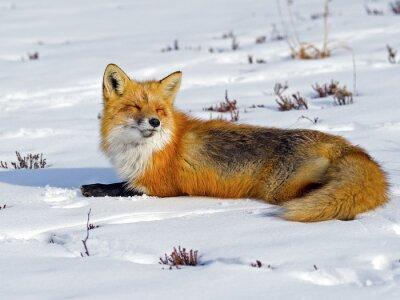 Carta da parati Red Fox Prendere il sole nella neve