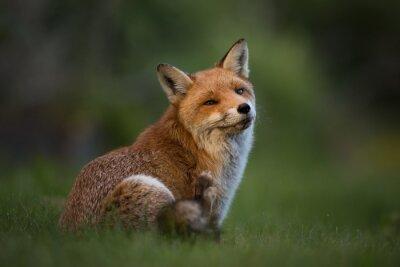 Carta da parati Red Fox seduta in erba