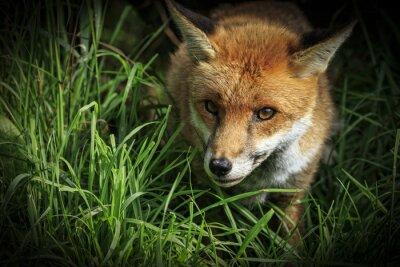 Carta da parati Red Fox (Vulpes vulpes)
