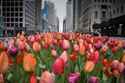 Carta da parati red tulips in Chicago downtown