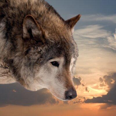 Carta da parati Responsabile del lupo contro il cielo al tramonto