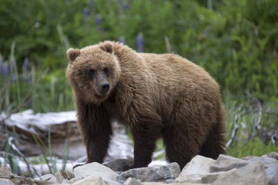 Carta da parati Ritratto di selvaggio libero orso bruno in roaming