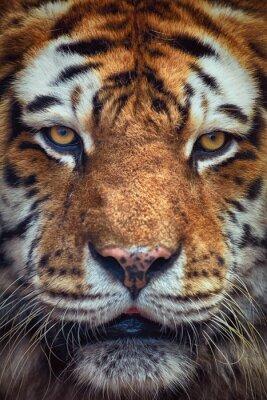 Carta da parati Ritratto di Tiger