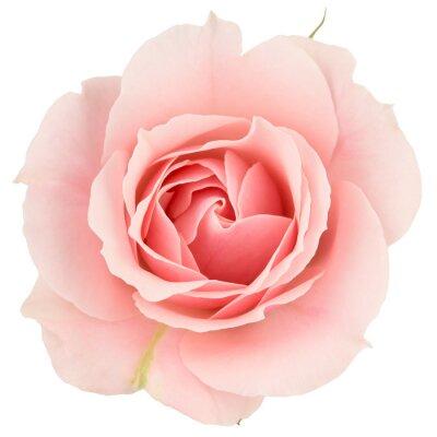 Carta da parati Rosa rosa vicino, isolato su bianco