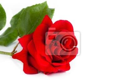 Rosa Rossa Su Sfondo Bianco Con Spazio Per Il Testo Il Concetto