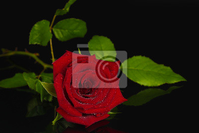 Rosa Rossa Su Sfondo Nero Close Up Carta Da Parati Carte Da Parati