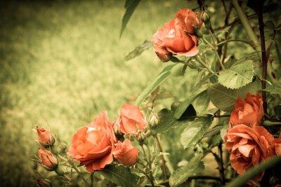 Carta da parati Rose nel giardino. Vecchia immagine stilizzata.