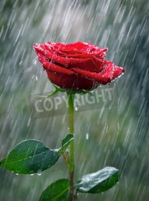 Carta da parati Rosso rosa con acqua scende nella pioggia