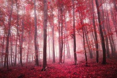 Carta da parati Rosso saturo mistica stagione autunnale faggeta paesaggio. tono filtro colore rosso utilizzato.