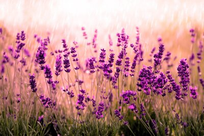 Carta da parati Rot Lavendelfeld