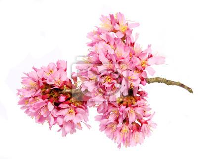 Carta Da Parati Fiori Di Ciliegio : Sakura isolato su bianco fiore di ciliegio carta da parati