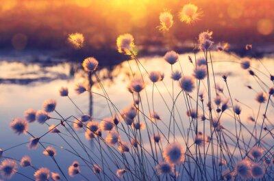 Carta da parati Scena di primavera. Pianta l'erba di cotone sopra l'acqua nei fasci del sole di tramonto.