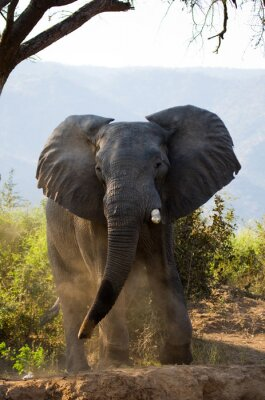 Carta da parati Selvaggio elefante getta la polvere. Zambia. Abbassare Zambezi National Park. Un ottimo esempio.
