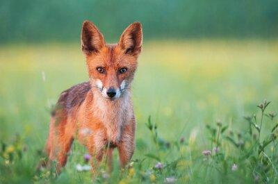 Carta da parati Selvaggio volpe rossa guardando la telecamera