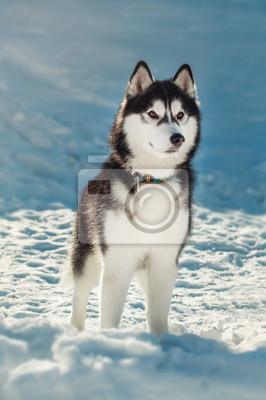 Carta da parati Siberian husky con gli occhi marroni nella neve