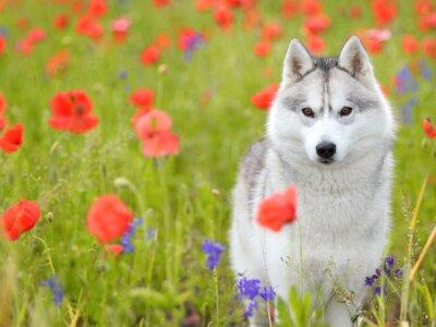 Carta da parati Siberian Husky - papaveri e fiori