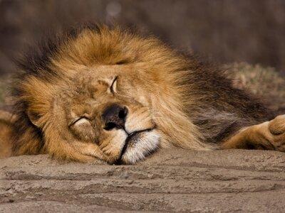 Carta da parati Sleeping Lion