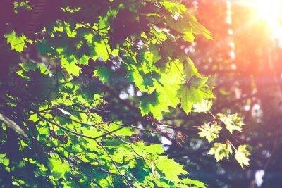 Carta da parati Sole foglie di acero verdi