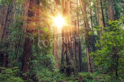 Carta da parati Soleggiato Redwood Forest nel nord della California, Stati Uniti. Forestale tema.