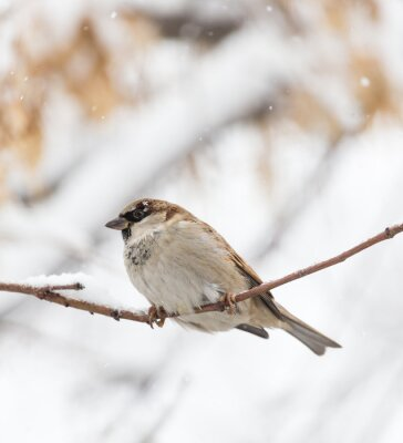 Carta da parati Sparrow natura invernale