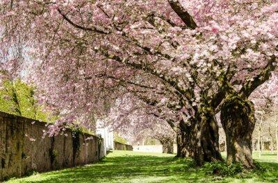 Carta da parati Spring Dream: fiori di ciliegio giapponese :)