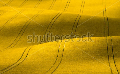 Carta da parati Spring Wavy yellow rapeseed field with stripes and wavy abstract landscape pattern. Corduroy summer rural rape landscape.Yellow moravian undulating fields of crops.Yellow Background texture