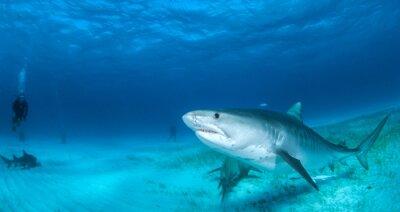 Carta da parati squalo tigre