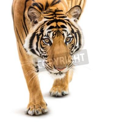 Carta da parati Stalking giovane tigre siberiana isolato su sfondo bianco