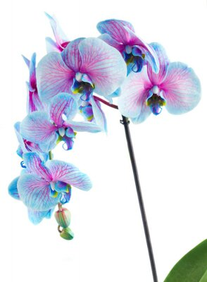 Carta da parati stelo di orchidee blu