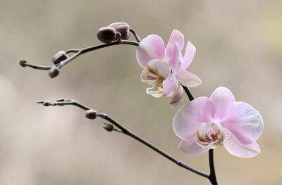 Carta da parati Storczyk - Orchidea