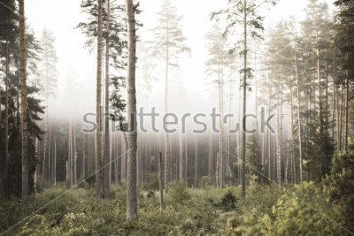 Carta da parati sun rising in mist covered forest. sun rays in fog with low visibility - vintage retro look