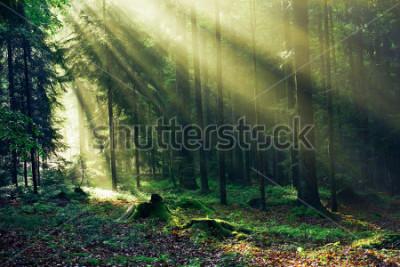 Carta da parati Sunrays reaching through the Fir Trees in the Morning after heavy Rain