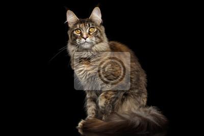 Carta Da Parati Pelosa Rosa : Tabby gatto maine coon seduto con coda pelosa e gli occhi gialli