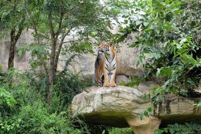 Carta da parati Tiger è un tasso feroce.