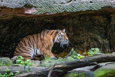 Carta da parati Tiger in grotta