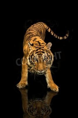 Carta da parati Tiger piedi sfondo nero